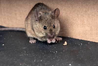 Natural ways to get rid of rodents and mice