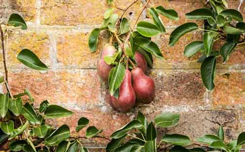 growing fruit trees flat against wall