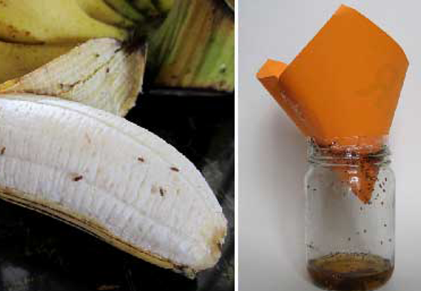 Fruit Flies: How to Get Rid of Fruit Flies & Fruit Fly Naturally